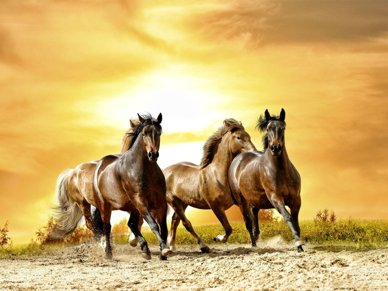 صور خلفيات خيول عربية اصيلة صور احصنة عربية اصيلة بجودة HD (11)