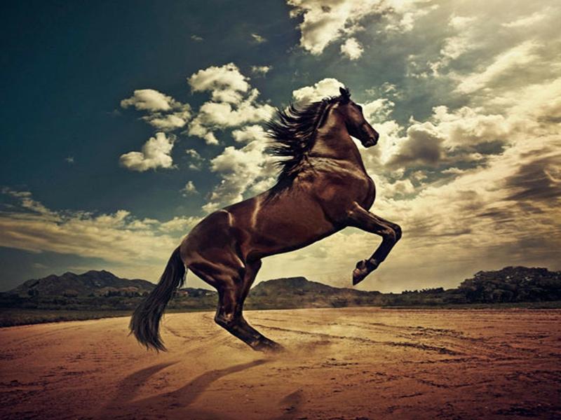 صور خلفيات خيول عربية اصيلة صور احصنة عربية اصيلة بجودة HD (13)