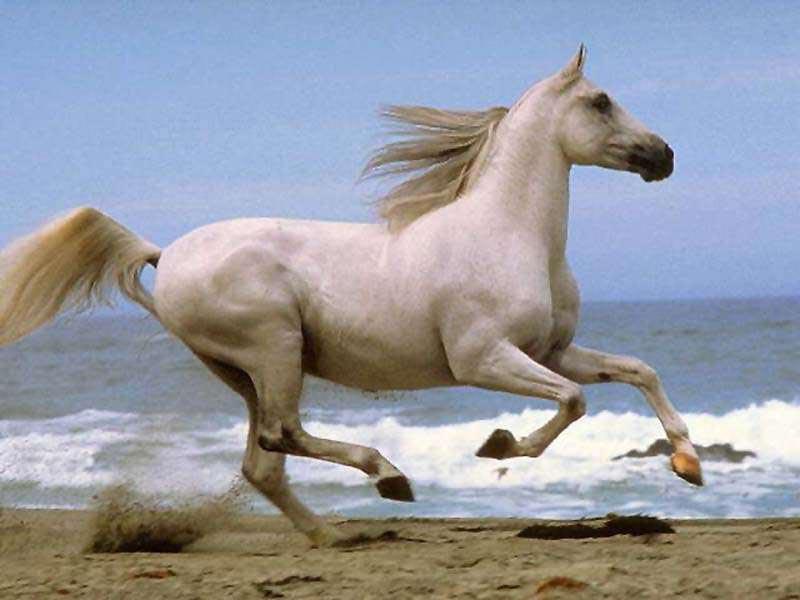 صور خلفيات خيول عربية اصيلة صور احصنة عربية اصيلة بجودة HD (16)