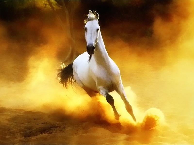 صور خلفيات خيول عربية اصيلة صور احصنة عربية اصيلة بجودة HD (18)