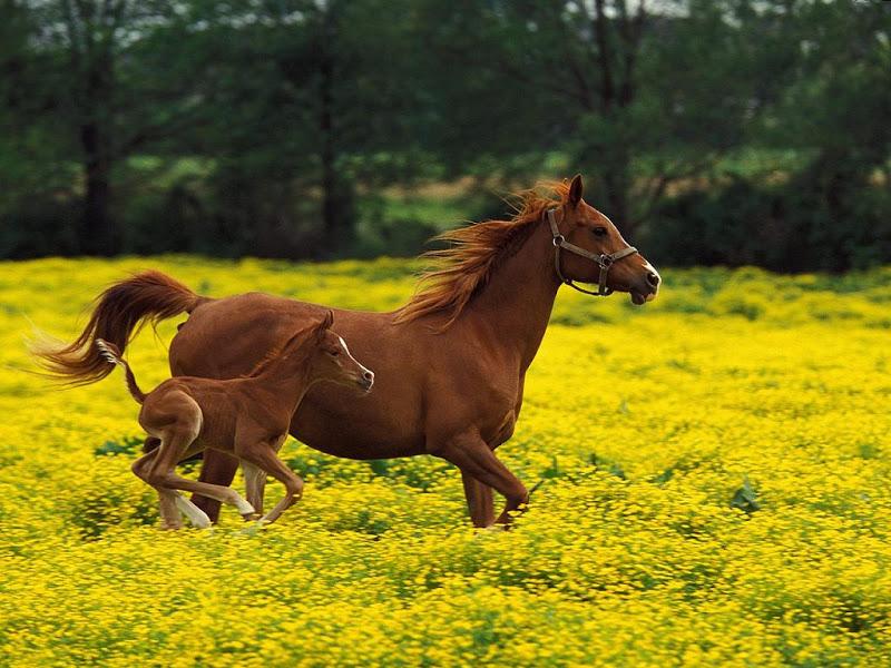 صور خلفيات خيول عربية اصيلة صور احصنة عربية اصيلة بجودة HD (19)