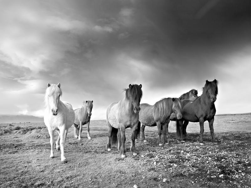صور خلفيات خيول عربية اصيلة صور احصنة عربية اصيلة بجودة HD (20)
