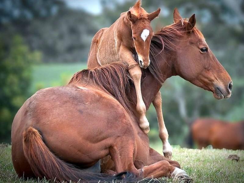 صور خلفيات خيول عربية اصيلة صور احصنة عربية اصيلة بجودة HD (21)