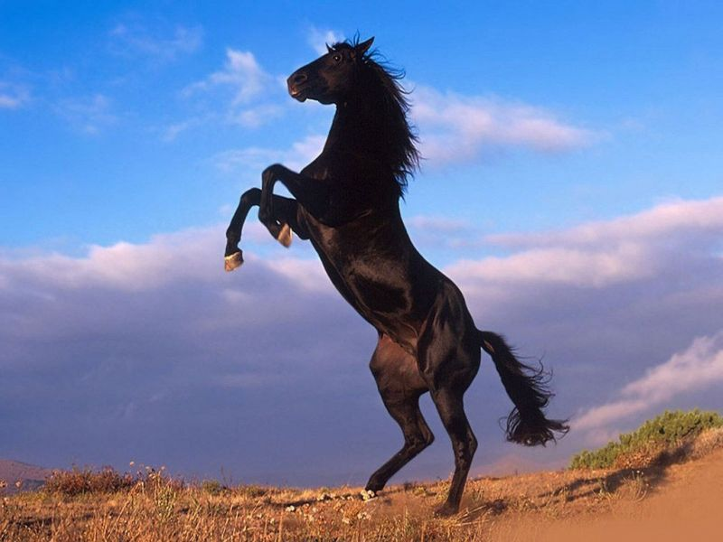 صور خلفيات خيول عربية اصيلة صور احصنة عربية اصيلة بجودة HD (26)