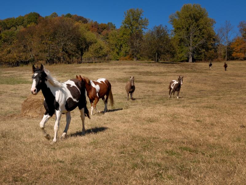 صور خلفيات خيول عربية اصيلة صور احصنة عربية اصيلة بجودة HD (4)