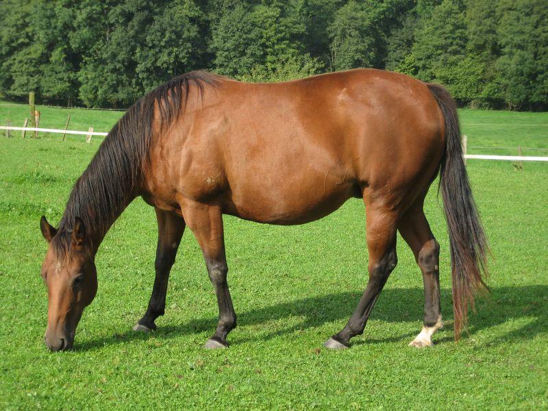 صور خلفيات خيول عربية اصيلة صور احصنة عربية اصيلة بجودة HD (9)