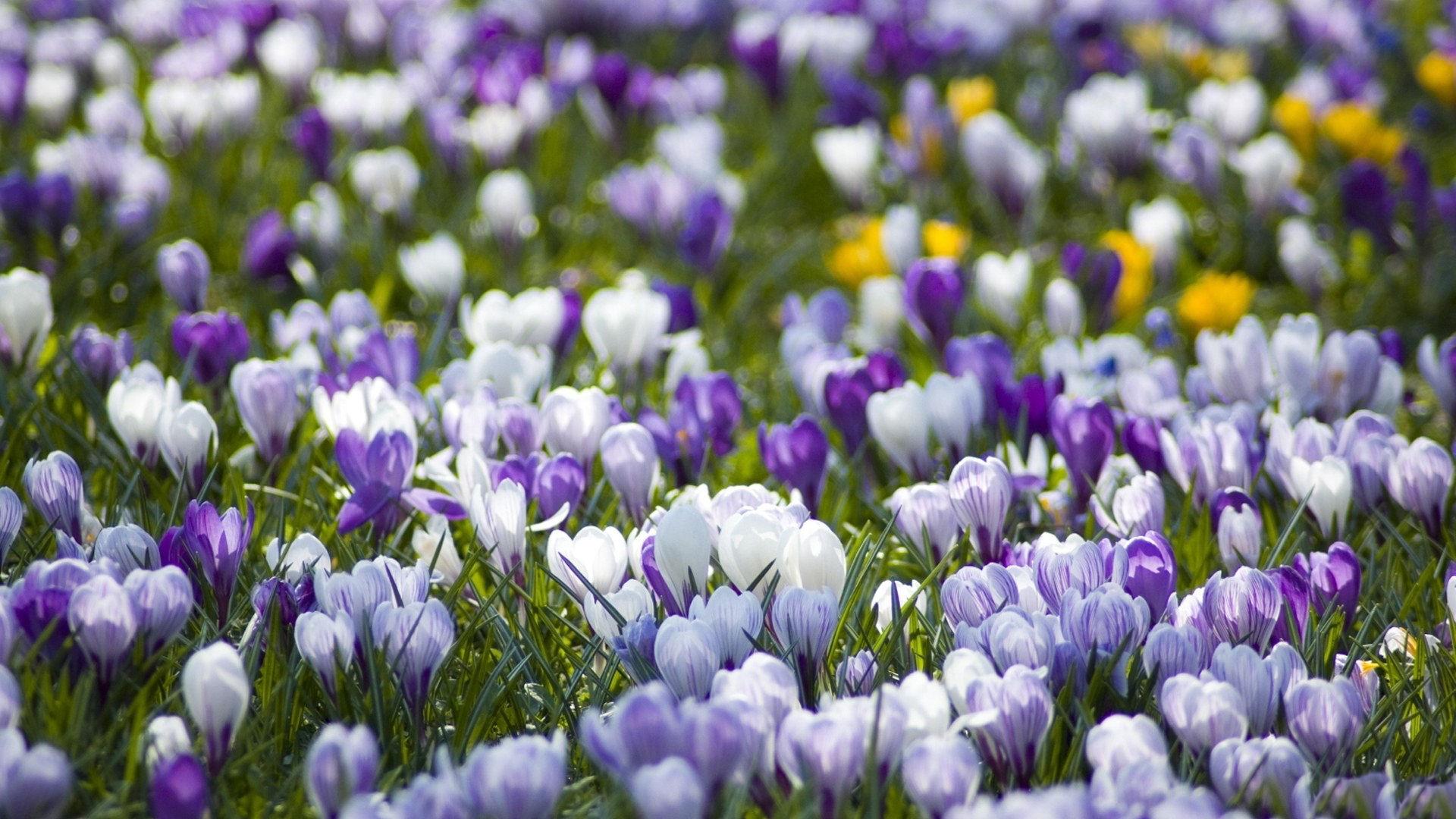 صور ورود جميلة اجمل صور الورد والازهار بجودة HD (39)