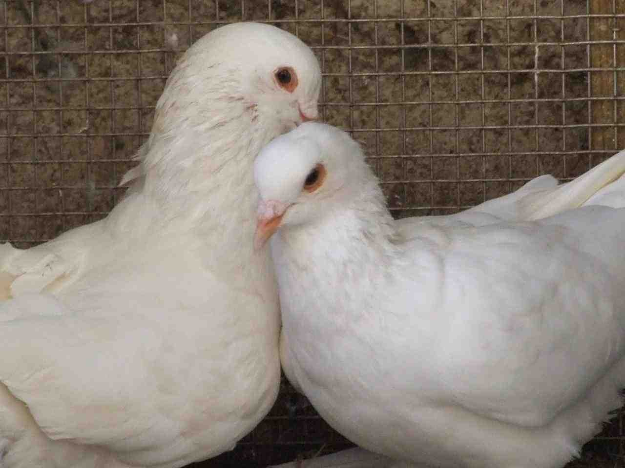 beautiful pigeon love