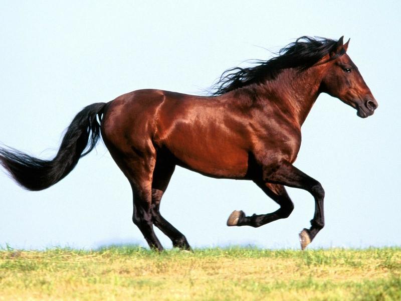 صور خلفيات خيول عربية اصيلة صور احصنة عربية اصيلة بجودة HD (12)