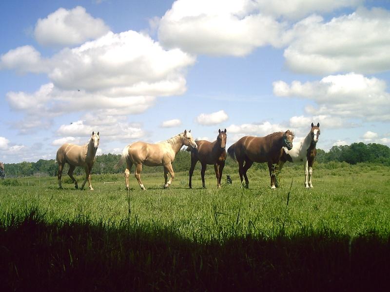 صور خلفيات خيول عربية اصيلة صور احصنة عربية اصيلة بجودة HD (35)