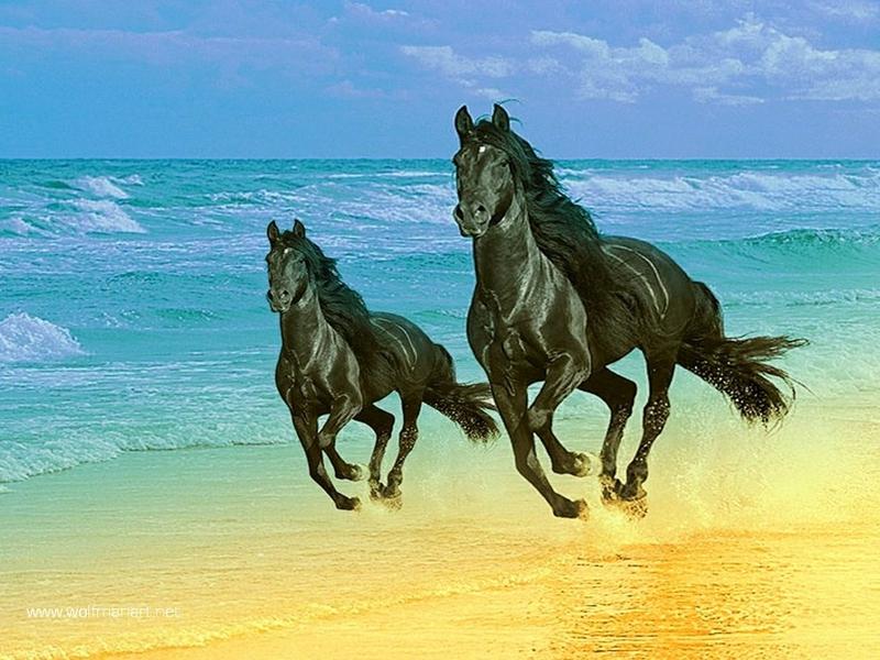 صور خلفيات خيول عربية اصيلة صور احصنة عربية اصيلة بجودة HD (7)