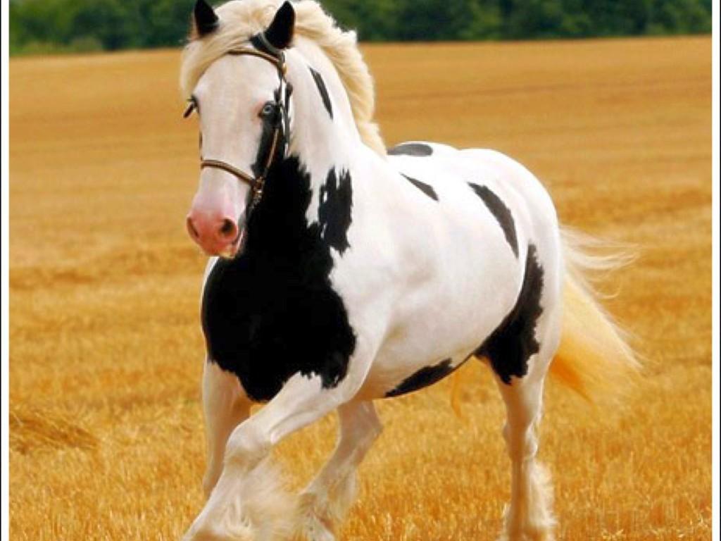صور حصان HD خلفيات حصان جديدة بجودة عالية (10)