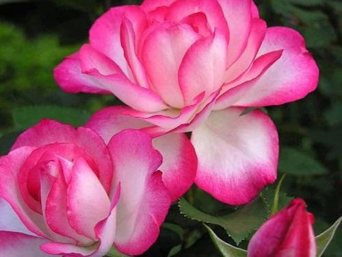 صور ورود جميلة اجمل صور الورد والازهار بجودة HD (18)